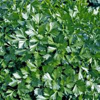 Петрушка листовая Риалто 1,5 г (Bejo) (перефасовано Vse-semena)