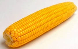 Семена кукурузы Солонянский 298 СВ  80 тыс.шт.