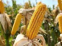 Семена кукурузы  НС 3033