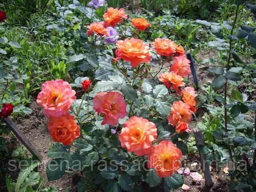 Розы —  рекомендации по посадке.
