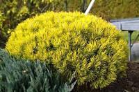Сосна горная Winter Sun (Pinus mugo Winter Sun) купить саженцы 5л.