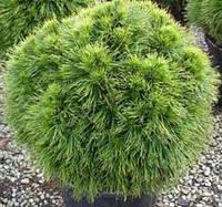 Сосна черная Spilberg (Pinus nigra Spielberg) купить саженцы 5л.