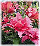 Лілія Pink Blossom (Рожеве Цвітіння), фото 3