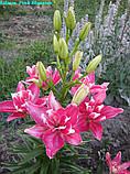 Лілія Pink Blossom (Рожеве Цвітіння), фото 2