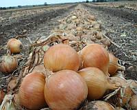 Семена репчатого лука Франциско, 250000 шт, Hazera