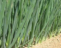 Семена лука на перо Савел Hazera 50 000 шт