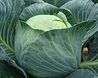 Семена капусты б/к Кастелло F1, от 2500 шт, Hazera