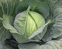 Семена капусты б/к Сати F1, от 2500 шт, Hazera