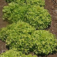 Семена салата Ронали F1, 1000 шт, Hazera