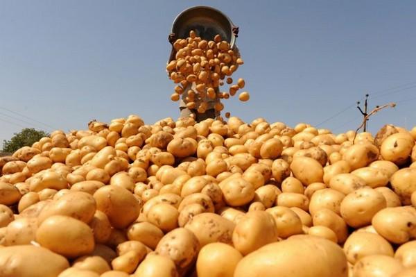Удобрение картофеля: общие правила
