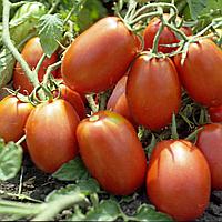 Семена томата Рио Гранде 500 гр Griffaton