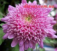 Черенок хризантемы шаровидной