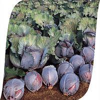 Семена капусты краснокачанной Рокси F1 (Roxy). Упаковка 2500 семян