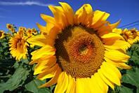 Устойчивые высокоурожайные гибриды подсолнечника