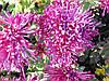 Крупноцветковая хризантема