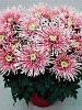 Маточники,черенки хризантем крупноцветковой горшечной