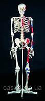 "Стандартная модель скелета человека ""Макс"""