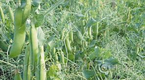 Семена гороха Преладо (Syngenta) 100000 семян / 100 тыс сем — (58 дней), крупнозернистый, овощной