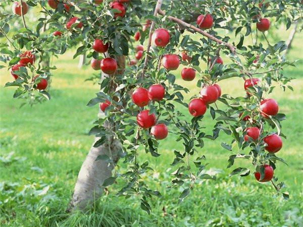 Винницкая область собрала самый большой урожай яблок в Украине