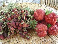 Рассада клубники ,саженцы винограда, клематисов, фото 1