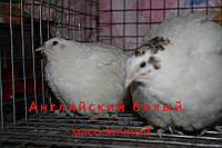 Инкубационные перепелиные яйца Английский белый