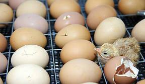 Инкубаторы с ручным переворотом яиц