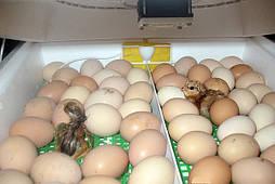 Инкубаторы с механическим переворотом яиц