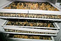 Суточные перепела породы Техасский Альбинос, фото 1