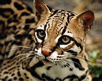 """Питомник Бенгальских кошек """"Big Jungle"""""""