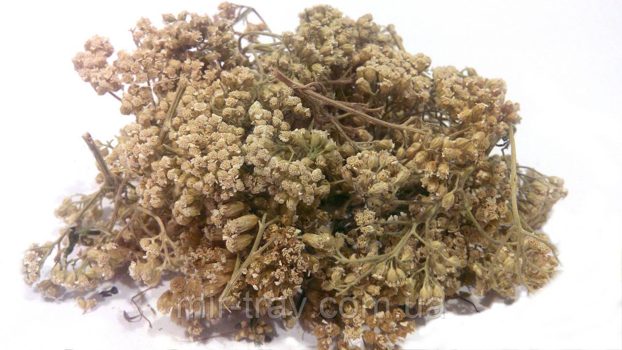 Тысячелистник обыкновенный трава (деревий)