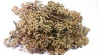 Тысячелистник обыкновенный трава (деревий), фото 1