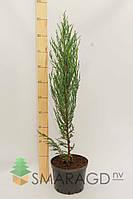 Можжевельник скальный - Juniperus scopulorum Blue Arow (высота 70 см, горшок 3л)