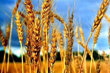 Украинская пшеница теснит конкурентов в Филиппинах