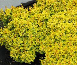 Барбарис Тунберга Bоnanza Gold 4 річний, Барбарис Тунберга Бонанза Голд, Berberis thunbergii Bоnanza Gold, фото 3