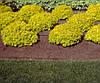 Барбарис Тунберга Bоnanza Gold 4 річний, Барбарис Тунберга Бонанза Голд, Berberis thunbergii Bоnanza Gold, фото 2