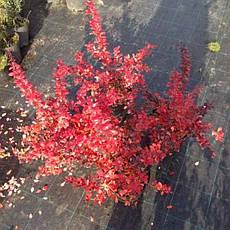 Барбарис середній Red Jewel 2 річний, Барбарис средний Ред Джевел, Berberis media Red Jewel, фото 2