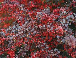 Барбарис середній Red Jewel 3 річний, Барбарис средний Ред Джевел, Berberis media Red Jewel, фото 3