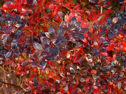 Барбарис середній Red Jewel 3 річний, Барбарис средний Ред Джевел, Berberis media Red Jewel, фото 2