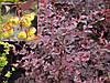 Барбарис оттавський Superba 3 річний, Барбарис оттавский Суперба, Berberis ottawensis Superba, фото 3