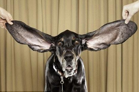 Самая длинноухая собака попала в книгу рекордов Гиннеса потому………