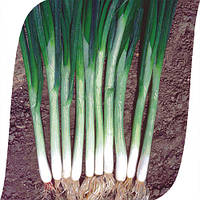Семена лука Грин Баннер (Green Banner) Seminis. Упаковка 100 000 семян