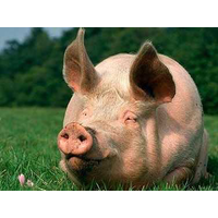Премикс Витамит для свиней на откорме