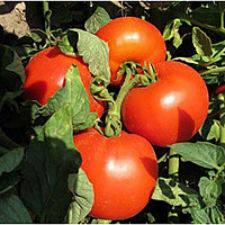 Семена томата Майсалун F1 1000 семян детерминантный