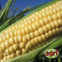 Кукуруза сахарная ТЕСТИ ГОЛД F1 - Agri Saaten