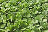 Семена салата полевого Диона 100 000 сем.Рийк цваан.