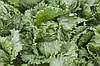 Семена салата Ясперинас 1000 сем.Рийк цваан.