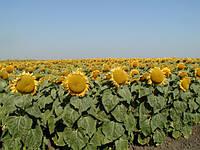 Арена ПР гибрид подсолнечника Syngenta, семена подсолнечника