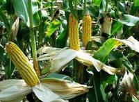 """Семена кукурузы """"Оржиця 237"""""""