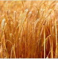 Семена озимой пшеницы Подолянка Е