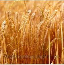 Семена озимой пшеницы Славна Е